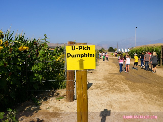 Live Oak Canyon Pumpkin Patch (11 of 38)